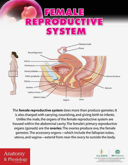 Ap Poster Female Reproductive Systemg