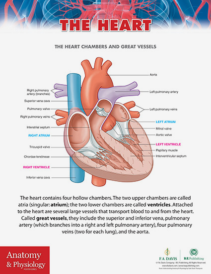 Anatomy & Physiology Poster Series (15 posters)